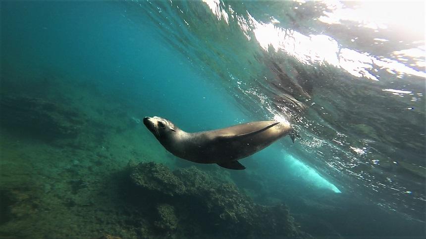 speelse zeehond