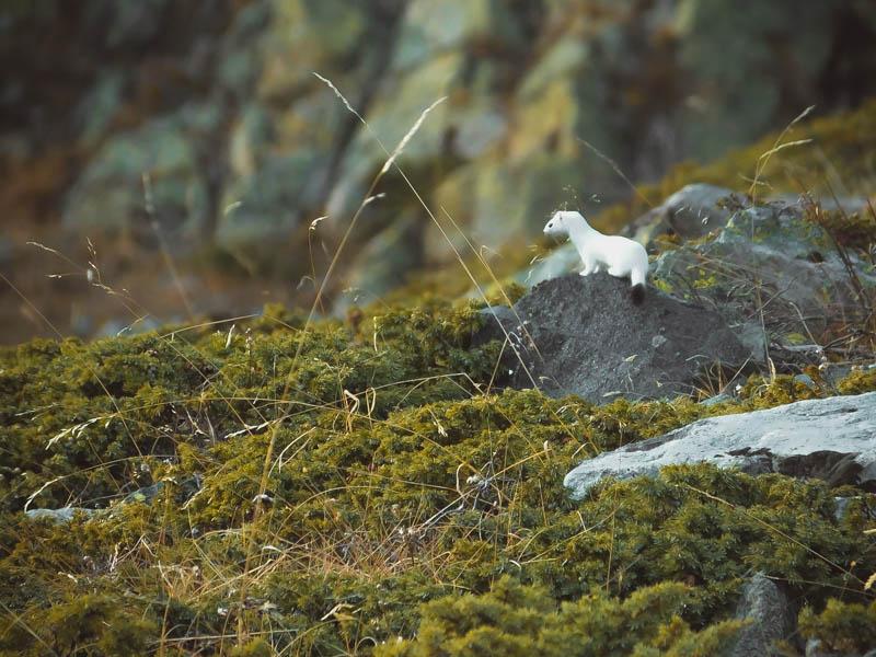 Een hermelijn in Les Écrins in zijn mooie witte wintervacht