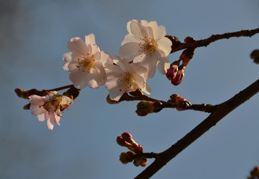 De eerste bloesem in de Japanse Tuin van Hasselt