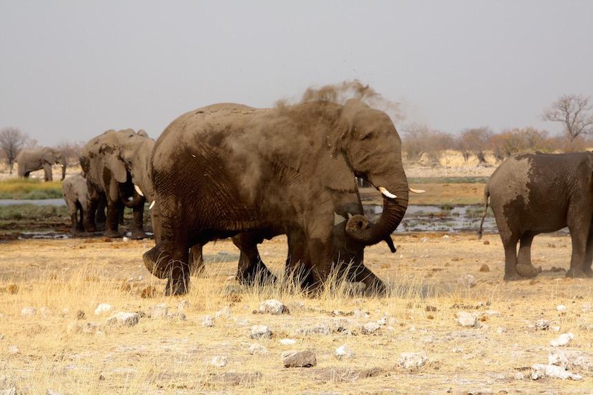 Een olifant neemt een zandbad in het Etosha National Park