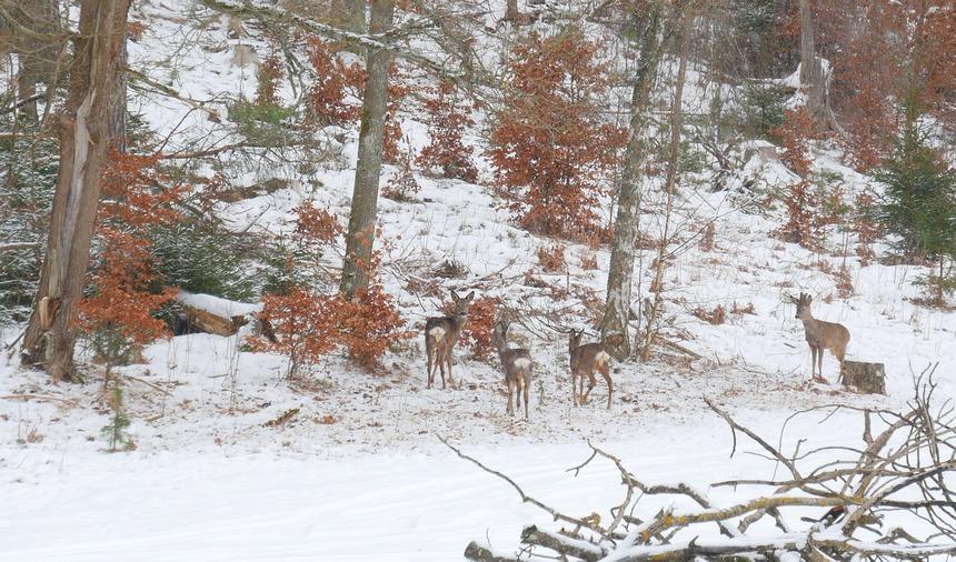 Herten en elanden, vossen en zelfs een wolf lopen om mijn huisje.