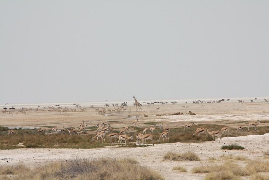 Rondom de 'waterhole' in Etosha, uitkijken voor de leeuwen