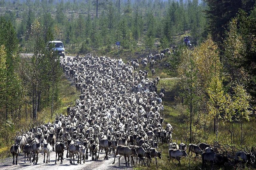 Regelmatig moet je op de rem voor een kudde rendieren in Noord-Noorwegen