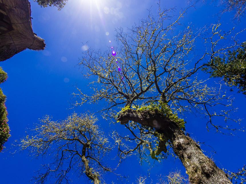 Bemoste bomen, Madeira