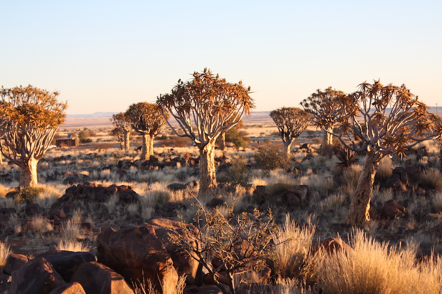 Quivertrees bij Keetmanshoop in Namibië