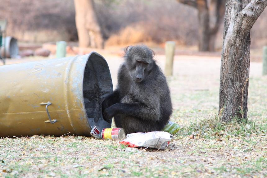 Apen op een camping in Namibië