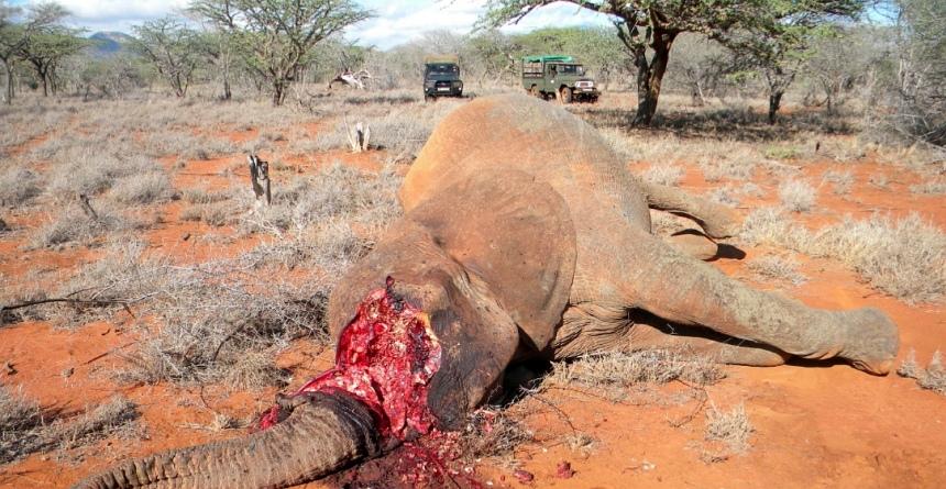 In heel Afrika worden per dag (!) zo'n 60 olifanten gedood.