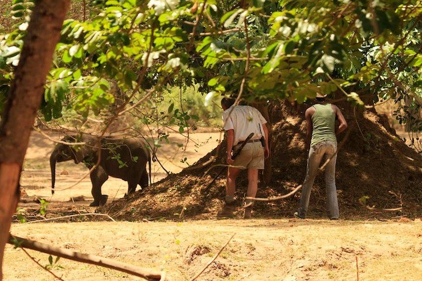 Een wees-olifantje wordt gevangen in Lower Zambezi NP op het veilig op te laten groeien en weer uit te zetten.