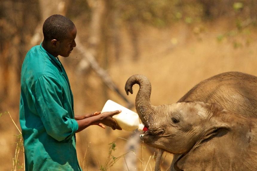 In Lilayi Elephant Nursery wordt een olifantje 3 jaar opgevangen. Elke 3 uur 2 liter melk.
