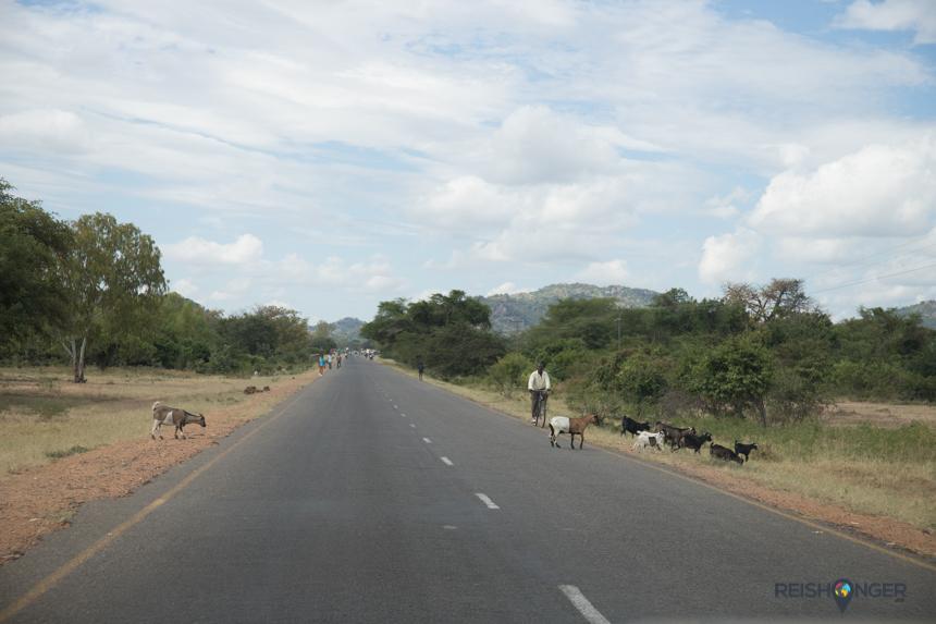 Mekkerende geitjes langs de kant van de weg zijn geen zeldzaamheid in Malawi