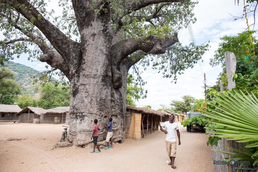 In Chembe staat een enorme baobab