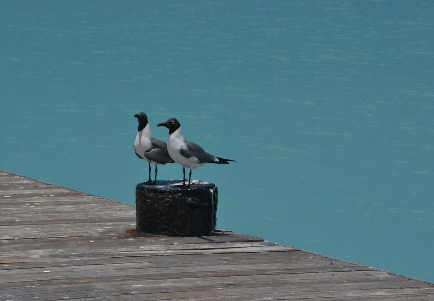 Vogels langs de kade op Sint Maarten