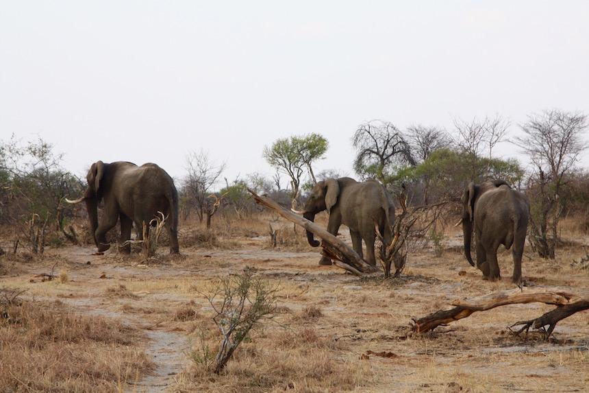 Olifanten in Nata in Botswana