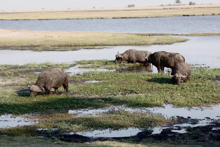 Buffels tijdens een gamedrive in Chobe