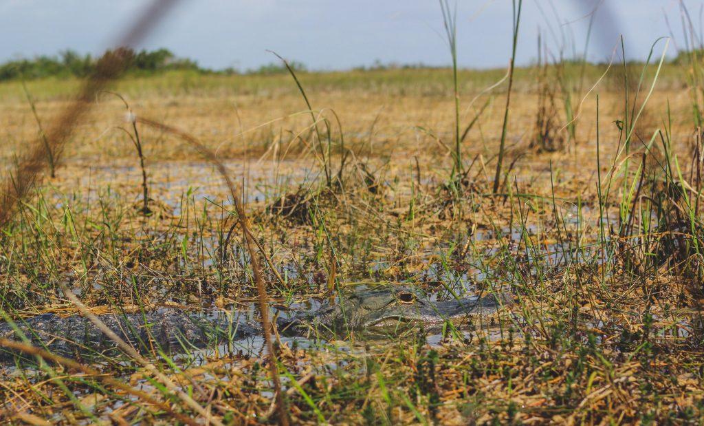 Alligators in Shark Valley tijdens een roadtrip Florida