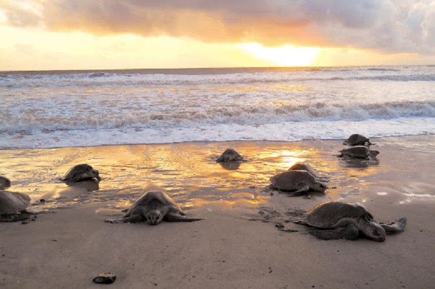 Olive Ridley schildpadden in Nicaragua