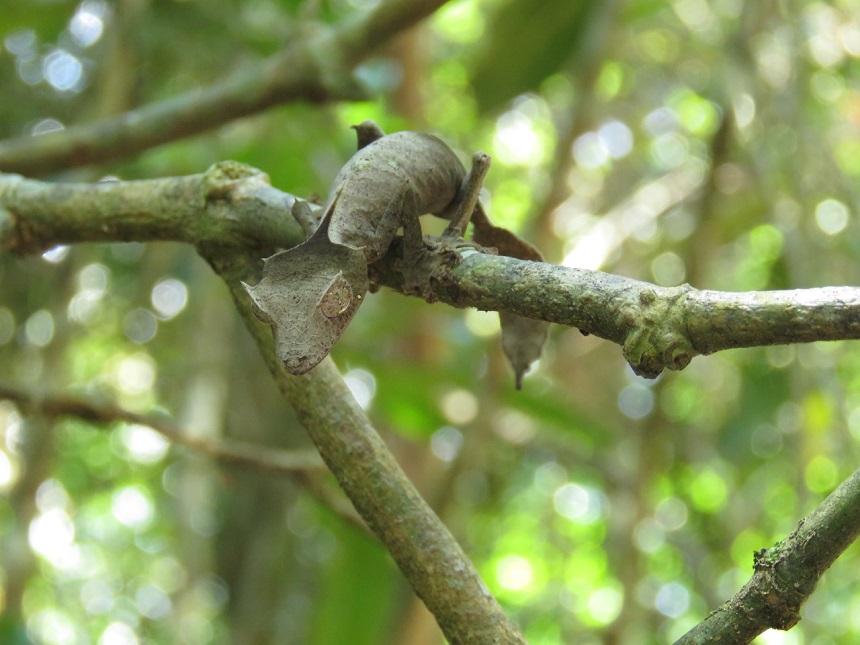 bladstaartgekko madagaskar