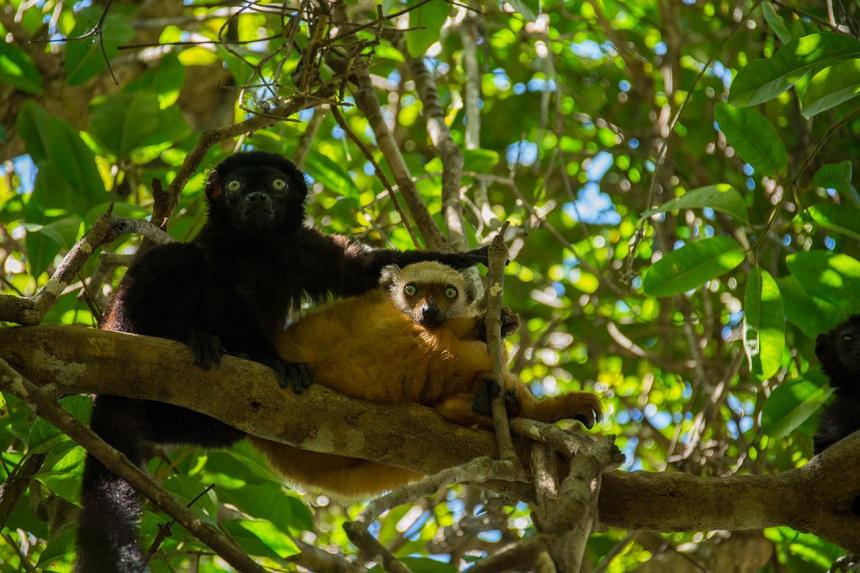 Eulemur flavifrons (blue-eyed black lemur)