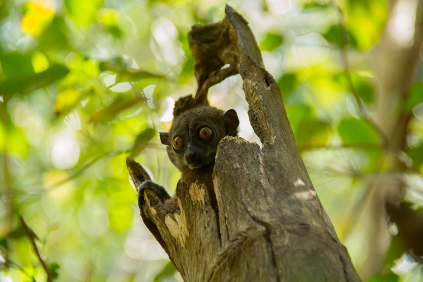 Lepilemur mustelinus (weasel sportive lemur)