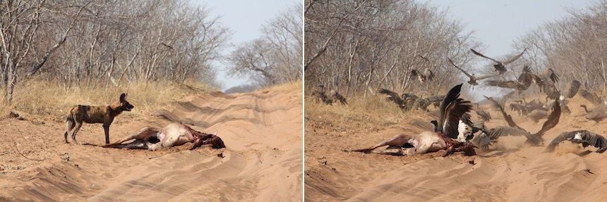 Wilde honden en gieren bij een kadaver in Chobe National Park