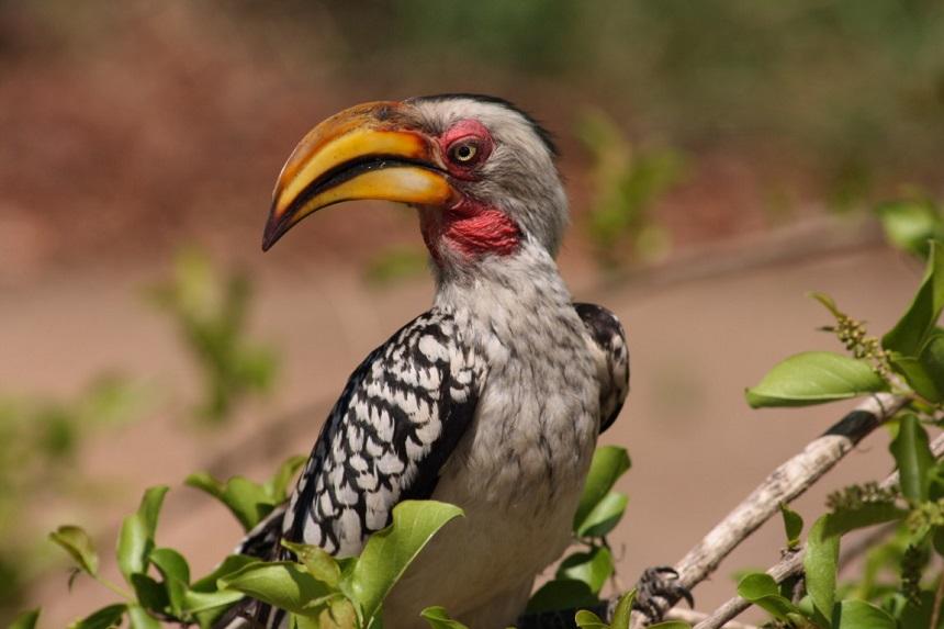 vogel kruger