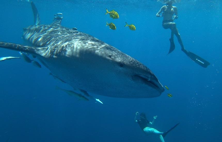 Ontmoeting met een walvishaai tijdens het snorkelen bij Nosy Be