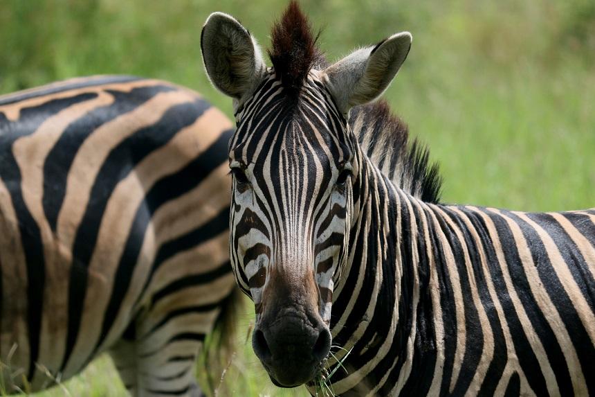 zebra kruger park
