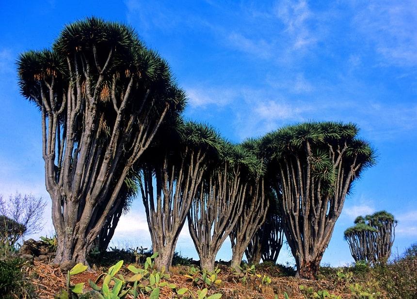 Drakenbomen op La Palma