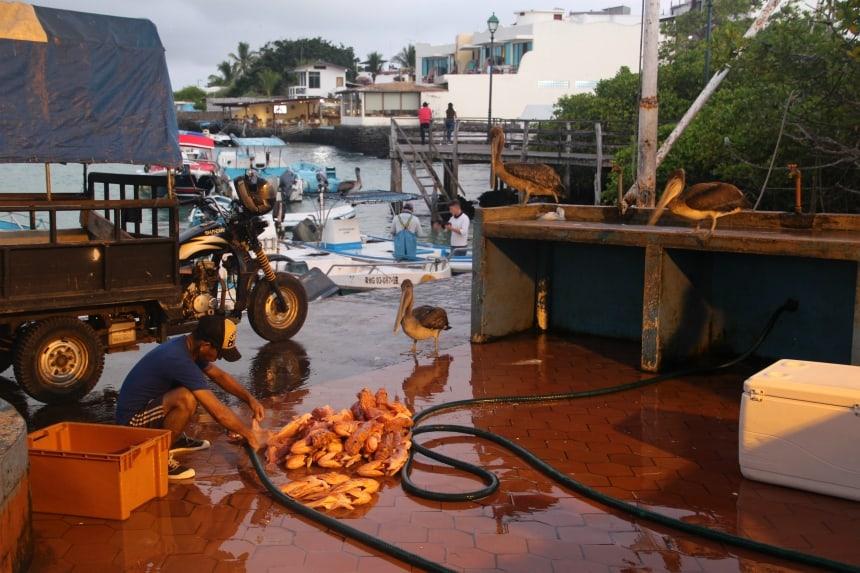 De vismarkt van Puerto Ayora belooft een spektakel! Pelikanen en zeeleeuwen kijken hier toe hoe de verse visvangst wordt gesneden