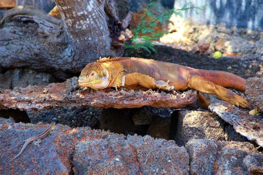 De gele landleguaan is een van de bijzondere dieren die voorkomen op de Galapagos eilanden
