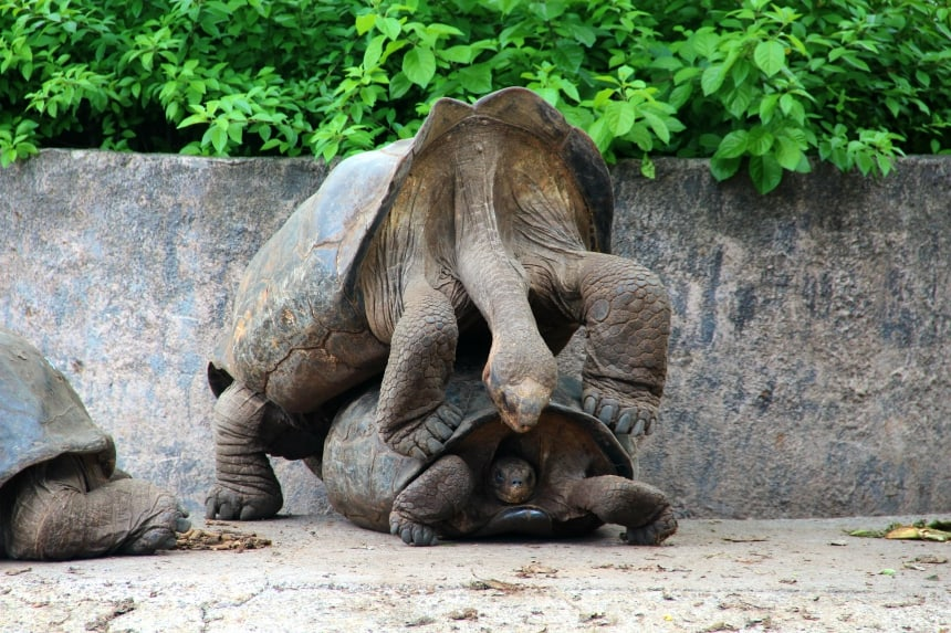 De indrukwekkende reuzenschildpadden zijn het symbool van de Galapagos eilanden