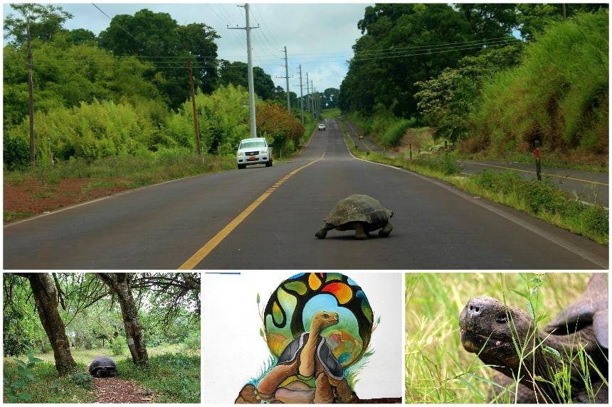 Op Santa Cruz kun je fietsen naar een bos waar reuzenschildpadden in het semi-wild leven