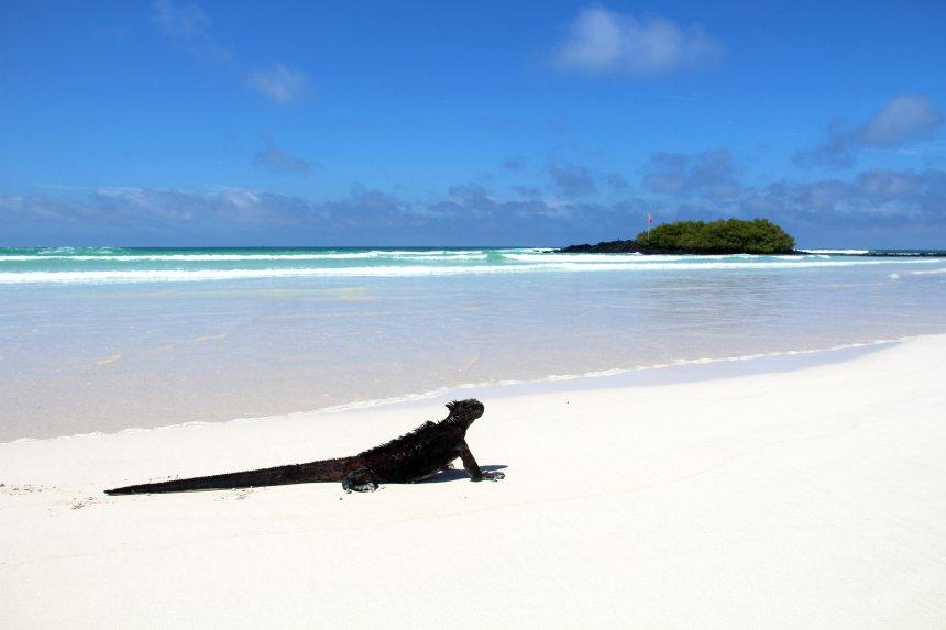 Op het strand van Tortuga Bay liggen zwarte iguana's te chillen in het spierwitte zand