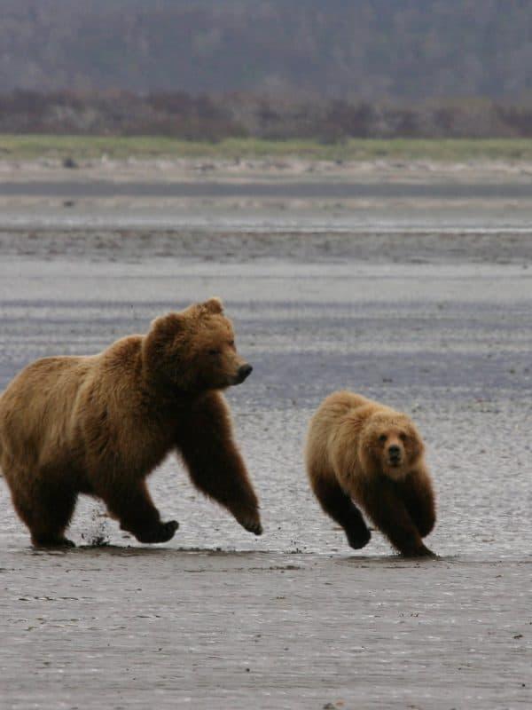 Alaska beren