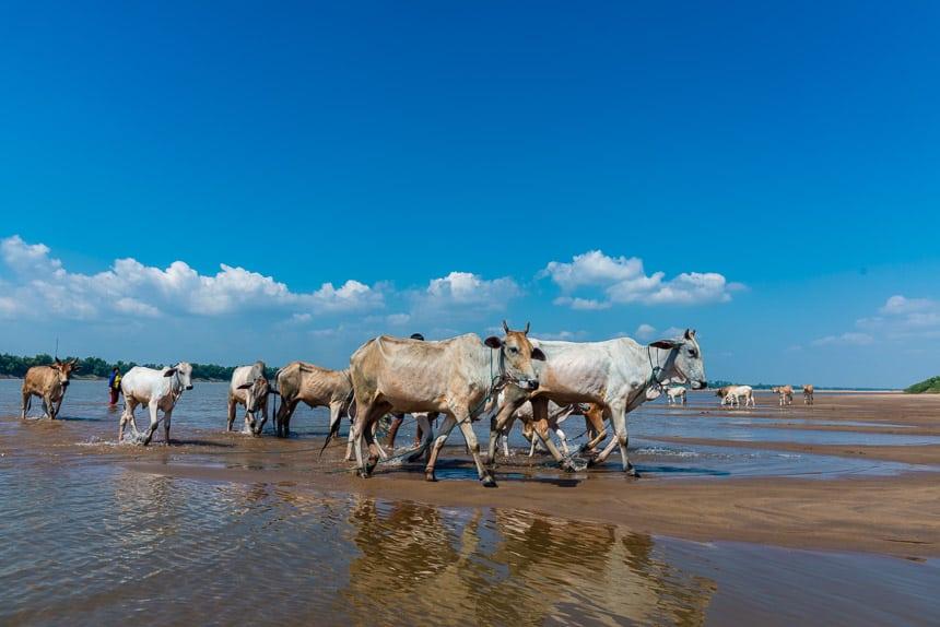 Koeien worden gedrenkt in de Mekong