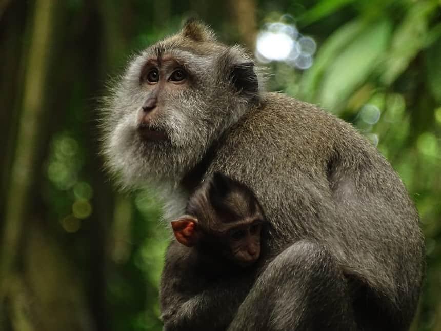 Aapjes in het Monkey Forest in Ubud