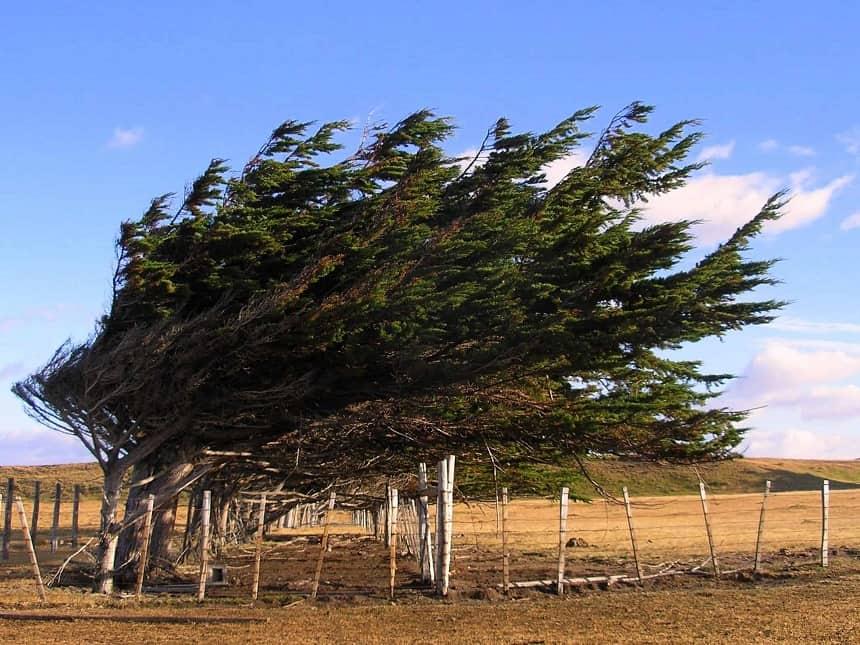 Scheef gegroeide bomen vanwege de harde wind in Patagonië