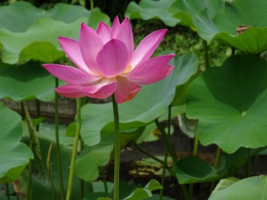 Lotusbloem Bali
