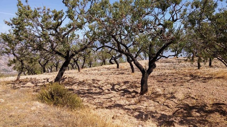 Olijfbomen in de Sierra Nevada