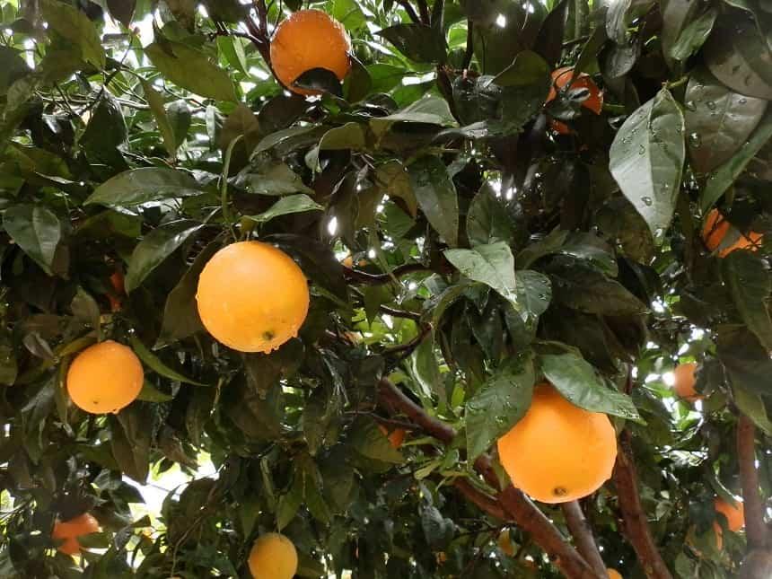 In het najaar groeien overal sinaasappels