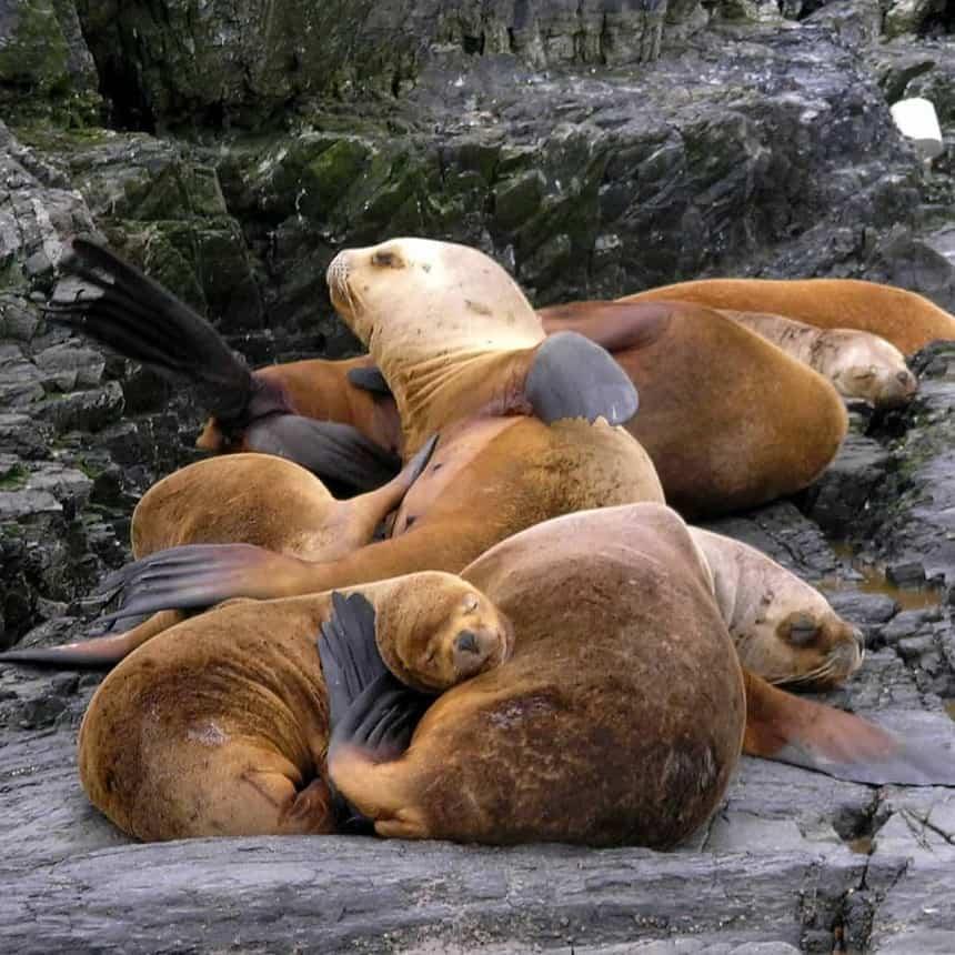 Zeerobben op een eilandje in het Beagle Kanaal