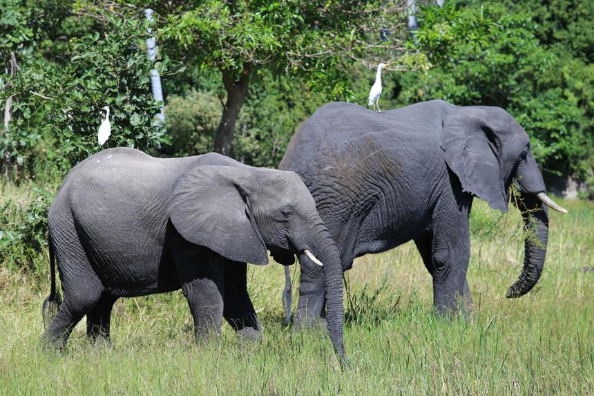 honderden olifanten in Liwonde