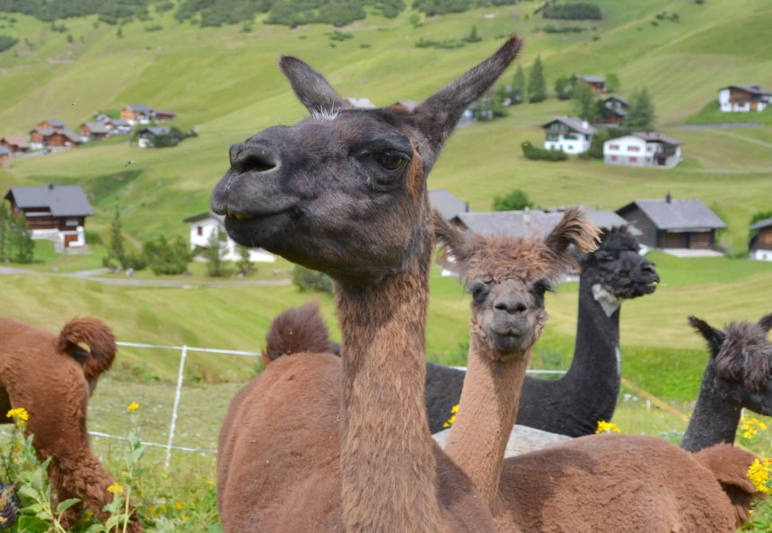 Lama's in Liechtenstein