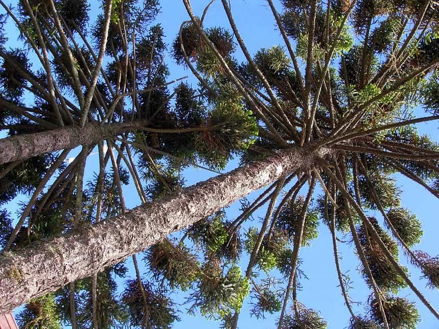 Bijzondere bomen tijdens een wandeltocht vanuit Pucon
