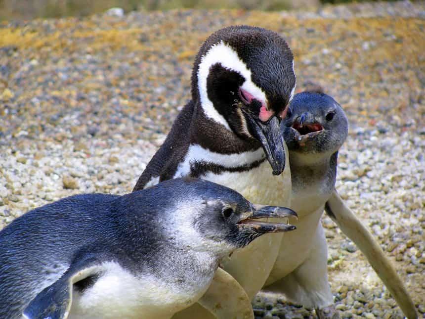 Pinguïnkolonie op Punta Tomba