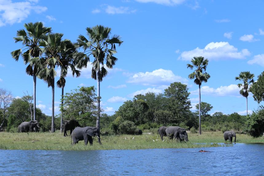 Voor de honderden olifanten in Liwonde is de Shire river hun drinkplaats en wasplaats tegelijk