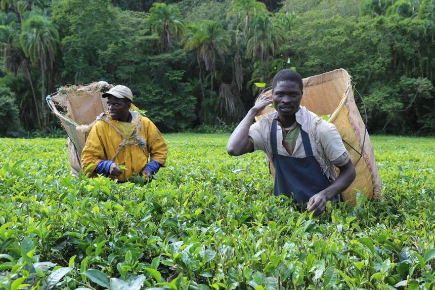 Theeplukkers Malawi