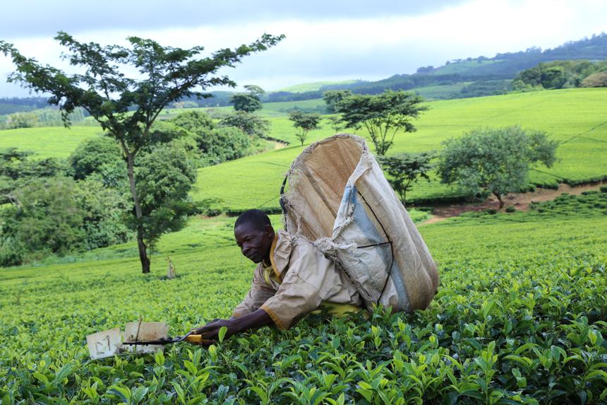 Zuid-Malawi is de theetuin van het land