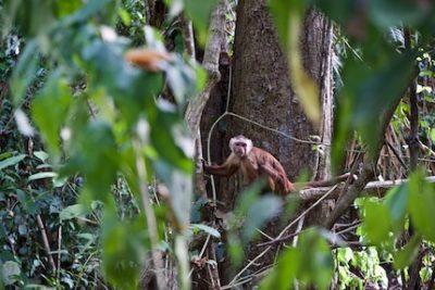 Apen in het Tayrona National Park, Santa Marta, Minca, Costeño Beach en Palomin