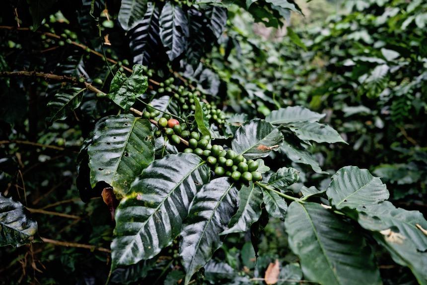 Koffieplant op de coffeefarm Victoria in Minca